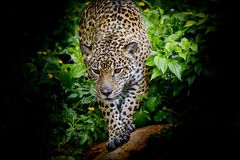 Jaguar walking in the forest Stock Photo