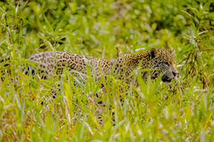 Jaguar Walking through high Grasses Royalty Free Stock Photos