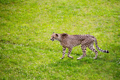 Jaguar walking in the jungle. Royalty Free Stock Photography