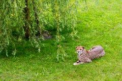 Jaguar walking in the jungle. Stock Photos