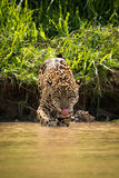 Jaguar walking through muddy shallows licking lips Royalty Free Stock Image