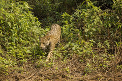 Jaguar Walking over Bushes and Vines Royalty Free Stock Image