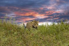 Jaguar Walking in the Sunset with Green Vegetation and a Beautiful Purple Sky in Pantanal, Brazil stock image