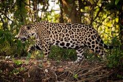 Jaguar walks right to left through undergrowth Stock Photo