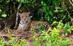 Jaguar watching intently. Focused Jaguar paying close attention Royalty Free Stock Photography
