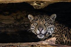 Jaguar. A Jaguar watching from it`s den Royalty Free Stock Photography