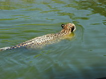 Jaguar in the water. Royalty Free Stock Images