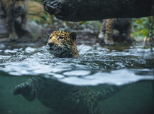 Jaguar in the water Stock Photography
