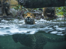 Jaguar in the water Stock Image