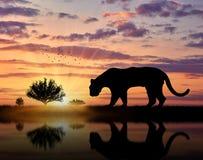 Jaguar wild animal hunts at sunset. Near the river Stock Photo