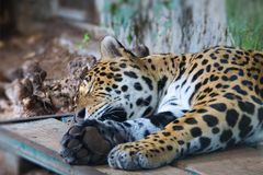 Jaguar - wild animal sleeping. Pistoia - Italy Stock Photos