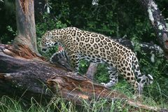 Jaguar Wild Cat Royalty Free Stock Photos