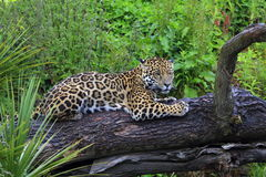 A Jaguar wildcat Royalty Free Stock Photo