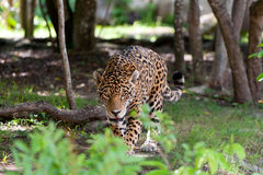 Jaguar in wildlife park. Of Jucatan in Mexico Stock Photography