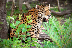 Jaguar in wildlife park of Jucatan Royalty Free Stock Photo