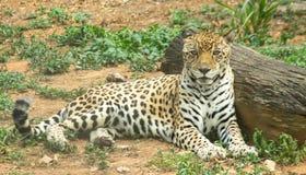 Jaguar(Panthera onca) Stock Photography