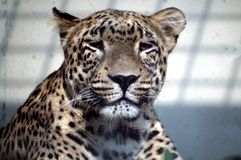 Jaguar in zoo Royalty Free Stock Photo
