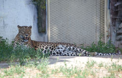 Jaguar in ZOO Bratislava Royalty Free Stock Photos