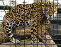 The jaguar of zoological park in Paris, France. Stock Images