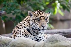 jaguara Obrazy Royalty Free