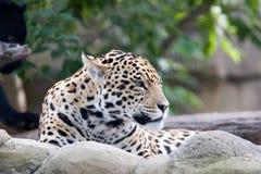 jaguara Obrazy Stock