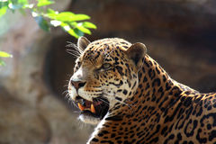 jaguara Obraz Royalty Free