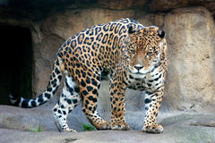jaguara Fotografia Stock