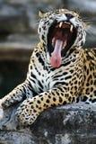 jaguara Zdjęcie Royalty Free