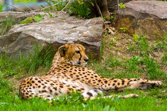 jaguara męska onca panthera fotografia obraz stock