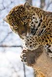 jaguara onca panthera Fotografia Royalty Free