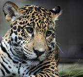 jaguara portret Obrazy Royalty Free