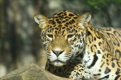 jaguara portret obraz stock