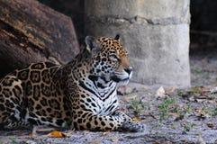 jaguara target601_0_ Obraz Royalty Free