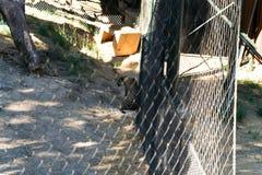 Jaguare machen die Tier Pause -, lebenden Organismus, Säugetiere stockfotos