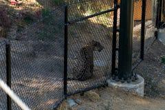 Jaguare machen die Tier Pause -, lebenden Organismus, Säugetiere stockfotografie