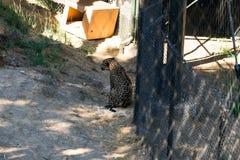 Jaguare machen die Tier Pause -, lebenden Organismus, Säugetiere lizenzfreie stockfotografie