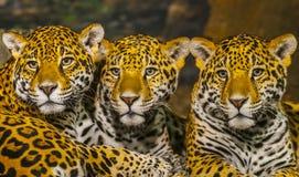 Jaguaren stock afbeelding