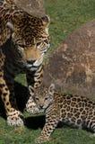 Jaguares Imagenes de archivo