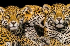 Jaguares Imagem de Stock Royalty Free