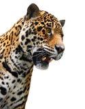 Jaguarkopf, wildes Tier getrennt auf Weiß Stockfoto