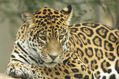 Jaguarlügen Stockfotografie