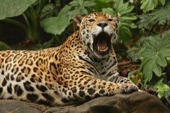 jaguarmanligfoto Royaltyfri Fotografi