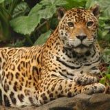 jaguarmanligfoto Royaltyfri Foto