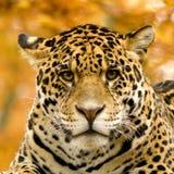 jaguaroncapanthera Royaltyfri Foto
