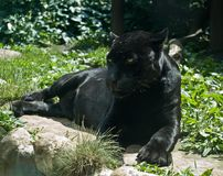 jaguaroncapanthera Royaltyfri Fotografi