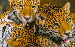 Jaguars images libres de droits
