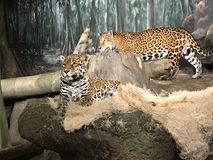 Jaguars on display. Milwaukee zoo jaguars on display Royalty Free Stock Images