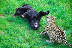 Jaguars playing. Two jaguars playing in the grass Stock Image