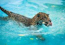 Jaguars  eating in the water. Jaguars show eating in the water Royalty Free Stock Images