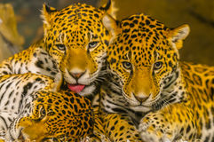 Jaguars Royalty Free Stock Photography